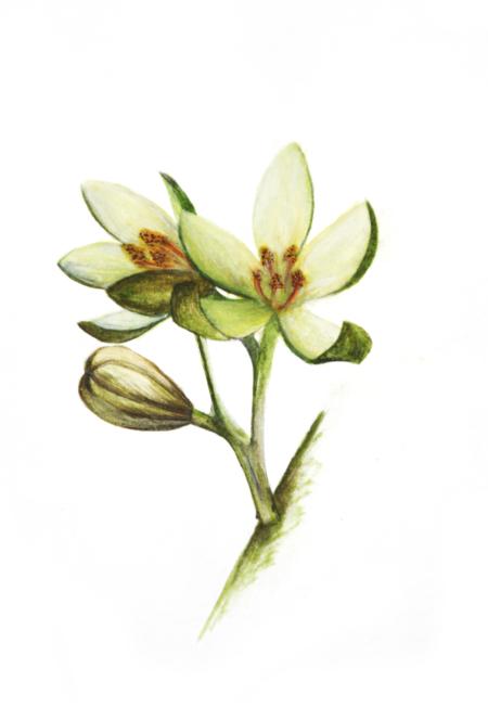 Katrafay, Cedrelopsis Grevei, Rutaceae