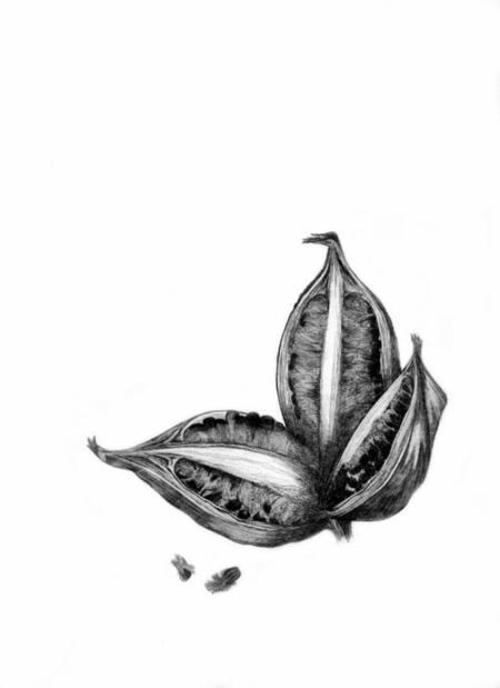 Phenakospermum huyannense, Strelitziaceae