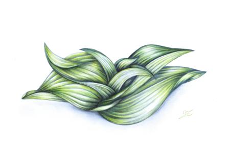 Veratrum viride, Melanthiaceae