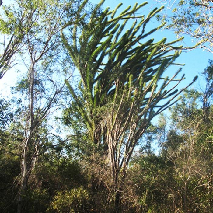 Didiéraceae, plante endémique du sud de l'ile de Madagascar.