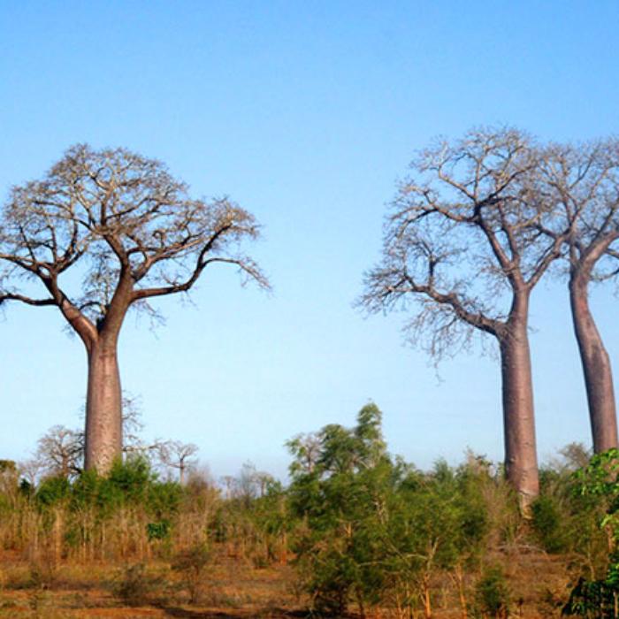 Baobabs, Adansonia za
