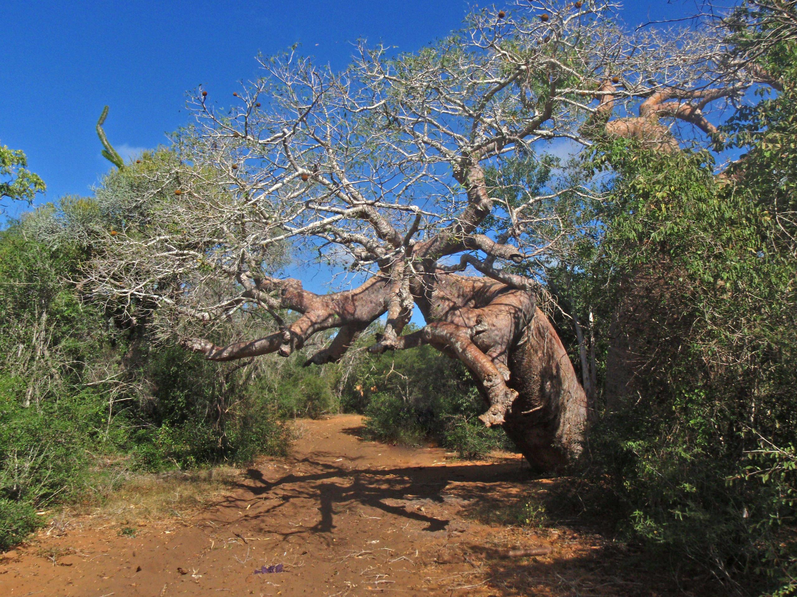 """Baobab Sacré, ce baobab protège les voyageurs, il faut lui faire des affrandes de """"paraky"""" tabac à chiquer."""