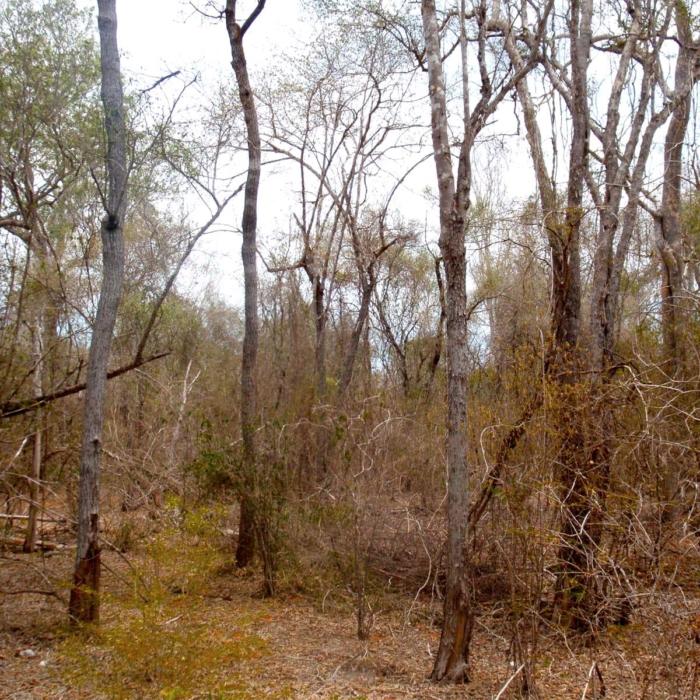 Sous bois de la forêt des Mikea. En saison sèche la verdure se fait rare en saison des Mikea