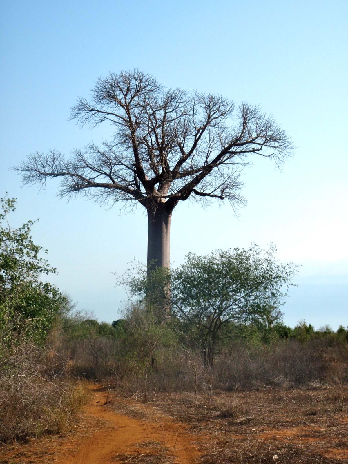 Baobab, Adansonia za